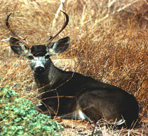Top 5 Hooved Animals to Hunt in Central Oregon